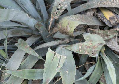 Arles: zone industrielle, plante grasse, sauvage.